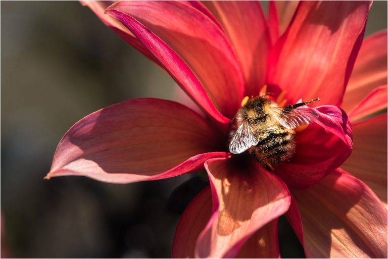 bee on dahlia surrey garden photographer